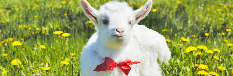 Goat wearing a bow tie